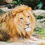 Hvad er klokken Hr. Løve?