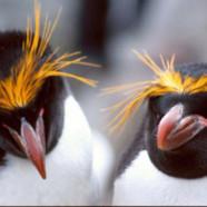 Pingvin fodbold