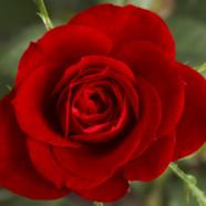 Alle kvinderne får en rose