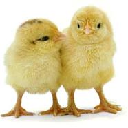 Alle mine kyllinger kom hjem